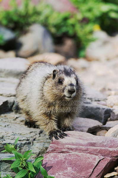 Hoary Marmot,Marmota caligata, young with flowers, Logan Pass,Glacier National Park, Montana, USA, July 2007