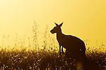 Eastern Grey Kangaroo (Macropus giganteus) female chewing grass at sunset, Mount Taylor Nature Reserve, Canberra, Australian Capital Territory, Australia