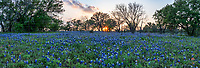 Hill Country Bluebonnet Sunset Pano - Texas hill country bluebonnet wildflowers as the sunset was starting to go down behind the trees. We like the way the bluebonnets flowed from the side of the road through the barb wire into this ranch land into the field beyond. The sun was going down and it rays came through the trees with just of hint of light to keep the pop of blue and reds in the wildflowers alive for this photo. The Texas lupine is the state flower and has become a must see thing every spring for tourist and locals alike. They even have festival for them.  Every year the wildflowers come out in different places to create these magical bluebonnet landscapes.There were plenty of bluebonnets before and after this barbwire fence along with some cactus, yuccas and of course this oak tree to capture this iconic texas scenery. There was a small sprinkling of indian paintbrush but mostly the blue bonnets.  We have been known to travel for many miles to look for the texas bluebonnets and other wildflowers every spring that grow in the hill country and central texas.