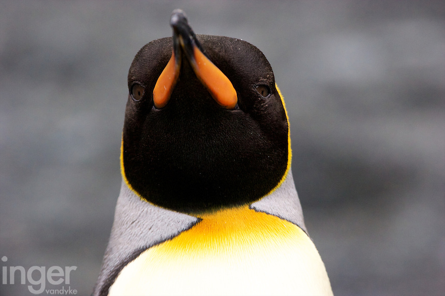 King Penguin on Macquarie Island, Antarctica