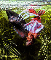 BY05-007z  Siamese Fighting Fish - male mating with egg laden female - Betta splendens