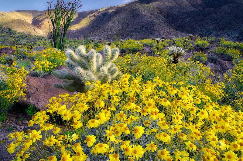 Yellow flowers of Brittlebrush (Encelia farinosa),cholla catus, and Ocotillo. Anza Borrego Desert State Park, California