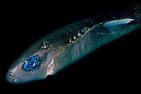 pygmy shark, Euprotomicrus bispinatus, approximately 24 cm, adult, female, showing glowing blue photophores (light organs), Kona Coast, Hawaii, USA, Pacific Ocean
