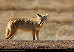Coyote, Bosque del Apache Wildlife Refuge, New Mexico