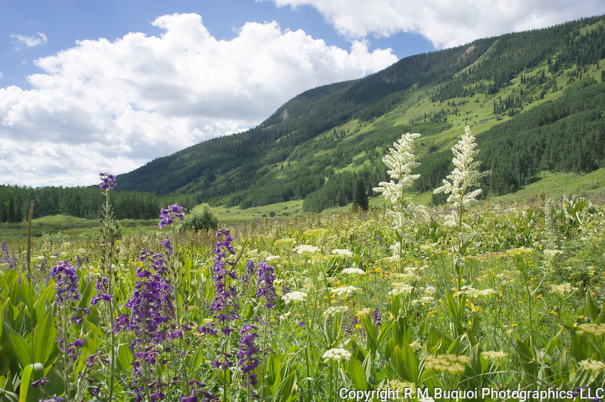 Field of Larkspur and Green Cornlily