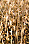 Close up of reeds used for thatching growing in marshland