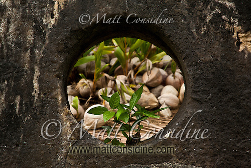 Coconuts seen through hole in middle of stone money, Yap Micronesia (Photo by Matt Considine - Images of Asia Collection) (Matt Considine)