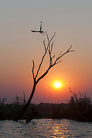 African Fish Eagle taking off from its perch at sunset