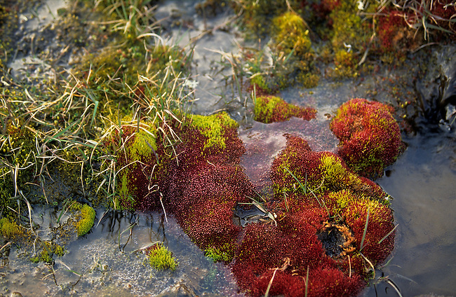 Brightly coloured mosses and tundra plants on Jackson Island. Franz Josef Land. Russia.