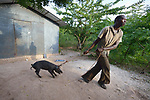 Calyx Pierre pulls his pig in Picmy, a village on the Haitian island of La Gonave, where Service Chr&eacute;tien d&rsquo;Ha&iuml;ti is working with survivors of Hurricane Matthew, which struck the region in 2016. SCH is a member of the ACT Alliance. <br /> <br /> By loaning pigs to affected residents like Pierre, families can raise the pigs, repay the loan with an offspring, and then continue benefiting from the animal.