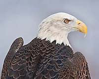 An eagle at the Howell Nature center in Michigan.