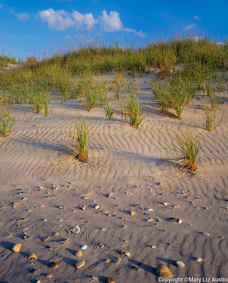 Cape Hatteras National Seashore, NC<br /> Sea shellsat the base on the grass covered barrier dunes on Ocracoke Island