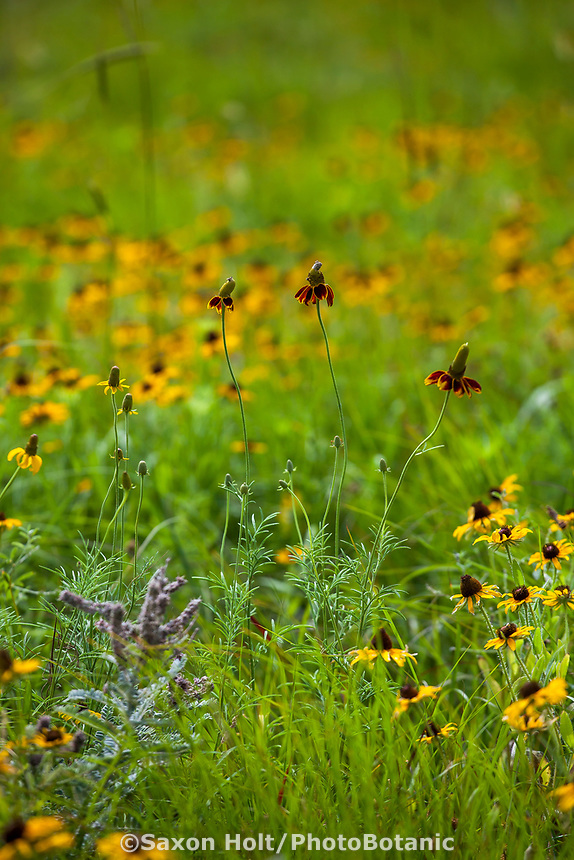 Ratibida columnifera Mexican Hat or Long-headed Coneflower wildflower native plant in Tallgrass Prairie Preserve, Oklahoma