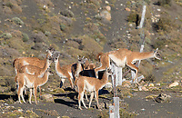 Guanacos cross over from private land into Torres del Paine National Park.