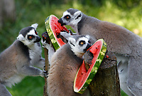 Ring-tailed lemurs catta refresh with a frozen watermelon at the Bioparco of Rome, Italy, August 8, 2017. Rome temperatures exceeded 40 degrees C.<br /> UPDATE IMAGES PRESS/Riccardo De Luca