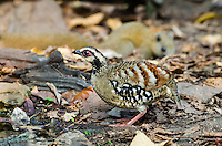 Bar-backed Partridge (Arborophila brunneopectus) foraging on the forest floor. (Kaeng Krachan, Thailand)