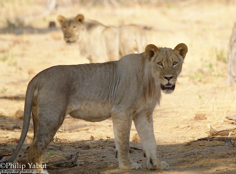 Lions are on the prowl at Hwange National Park, Zimbabwe
