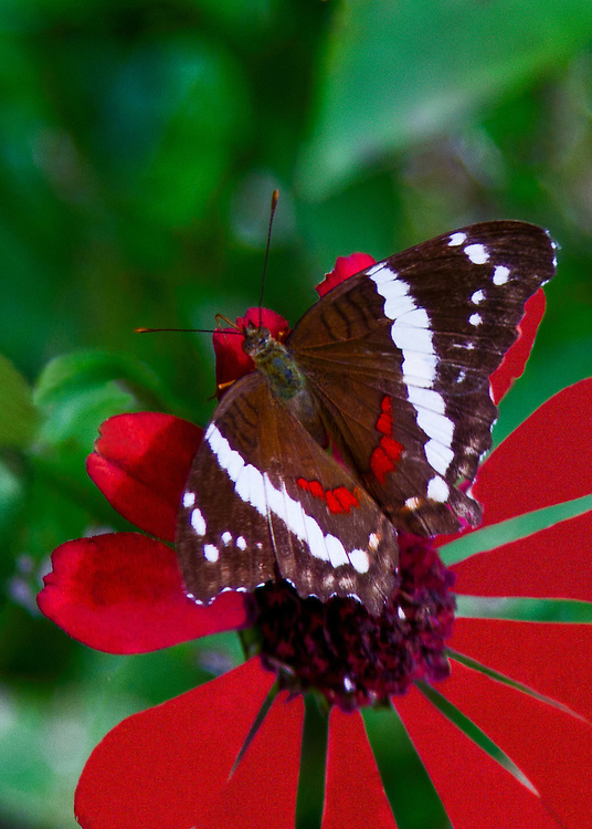 A Banded Peacock or Fatima sipping from bright red flower in a garden planted in Costa Rica just to attract butterflies. The red markings on the butterfly match the color of the flower.