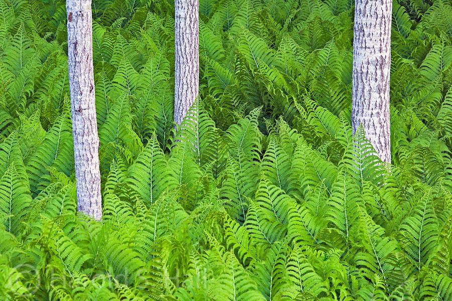 Three tree trunks grow in a field of ferns.