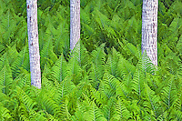 Three tree trunks grow in a field of ferns.