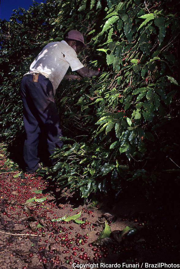 Agricultural temporary worker at manual coffee harvesting, Minas Gerais State, Brazil.