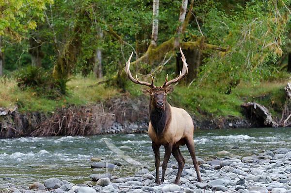 Roosevelt Elk Bull (Cervus canadensis roosevelti) standing along Pacific Northwest river.  Fall