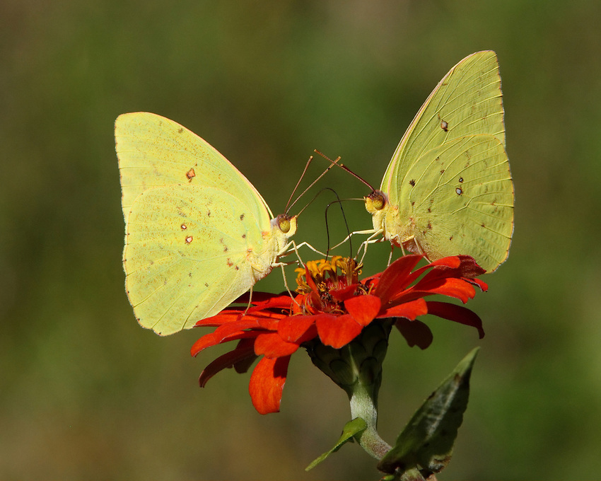 Cloudless Sulphur(Phoebis sennae) Permanent resident from Argentina north to southern Texas and the Deep South.