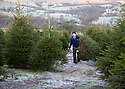 "03/12/14<br /> <br /> After the first overnight frost of the winter with temperatures plunging to -2, Neil Townley, 49, harvests trees at Clayton Fold Christmas Tree Farm in the Goyt Valley near Whaley Bridge in the Cheshire Peak District. Neil expects to sell about 1000 trees this year from his plantation that he says is one of the highest Christmas tree farms in the country.<br /> <br /> ""We're at 1000 ft up here - it's the height Christmas trees - especially the Nordmans - are meant to grow at. You can grow them on lower land but they love it up here.<br /> <br /> ""This is the first frost we've had. They'll be four of cutting trees down for customers today. On Saturday we'll probably get about 300 people here all choosing their own trees. I just hope it doesn't snow at the weekend"" said Neil.<br /> <br /> ***ANY UK EDITORIAL PRINT USE WILL ATTRACT A MINIMUM FEE OF £130. THIS IS STRICTLY A MINIMUM. USUAL SPACE-RATES WILL APPLY TO IMAGES THAT WOULD NORMALLY ATTRACT A HIGHER FEE . PRICE FOR WEB USE WILL BE NEGOTIATED SEPARATELY***<br /> <br /> <br /> All Rights Reserved - F Stop Press. www.fstoppress.com. Tel: +44 (0)1335 300098"