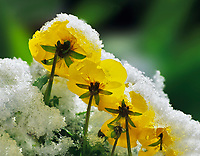 Yellow pansies in snow. Corvallis, Oregon