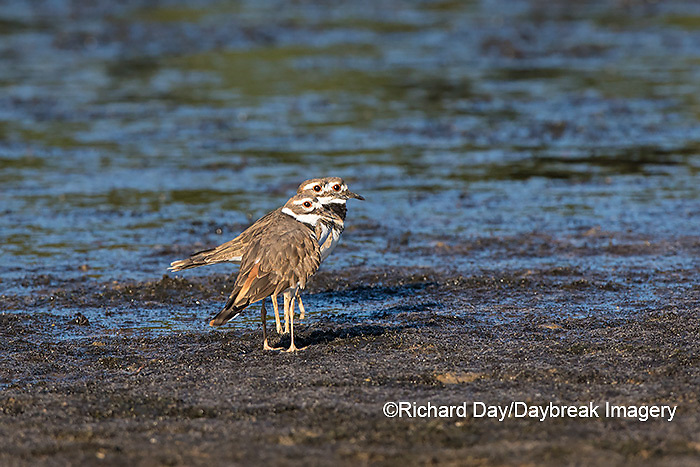 00895-02101 Killdeer (Charadrius vociferus) in wetland, Marion Co., IL