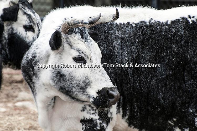 Randall Lineback Cow medium shot