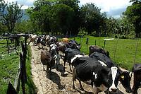 Ganado vacuno en Bonao, provincia Monse&ntilde;or Nouel de Bonao. <br /> Monse&ntilde;or Nouel, Rep&uacute;blica Dominicana.<br /> 8 de mayo de 2010<br /> Foto: &copy; Cesar De La Cruz