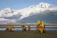 Carol and her 3 spring cubs dig for clams. Kodiak grizzly bear (Ursus arctos middendorffi), Hallo Bay