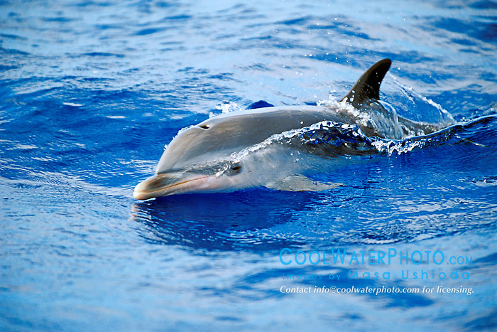 pantropical spotted dolphin calf wake-riding, Stenella attenuata, off Kona Coast, Big Island, Hawaii, Pacific Ocean.