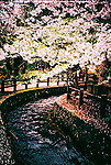 Cherry blossom and stream in Hirosaki.