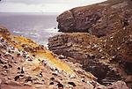 Rockhopper penguins. New Island. Falklands
