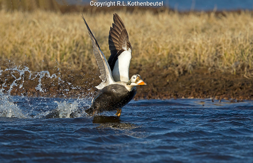 A male spectacled eider takes flight from a tundra pond near Barrow, Alaska<br />