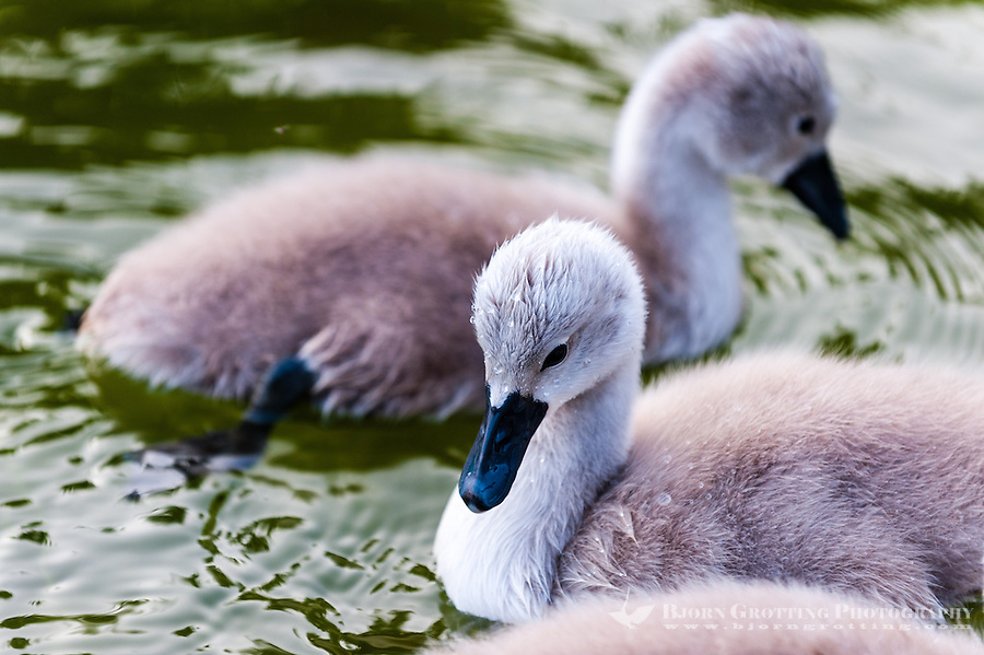 Mjölkö, Sweden. Mute swan chicks.