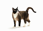 Snowshoe Cat - Male - Standing