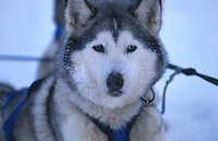 Close up of Siberian Husky in Devan Currier's Team