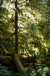 Scenery of a mossy forest lit by bright sunlight. Vancouver Island, British Columbia, Canada.