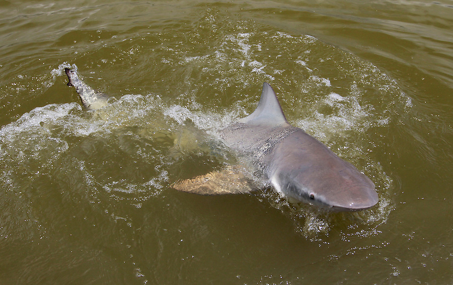A black tip shark comes out of the water after some bait in the Florida Everglades and the 10,000 islands out of Chokoloskee Island. Photo/Andrew Shurtleff