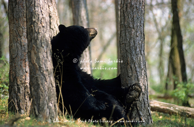 Black bear rubbing his back against a tree trunk, France.
