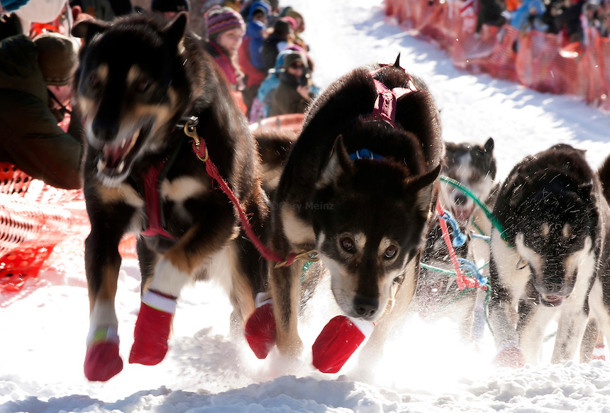 The lead dog intently leads his team at the start of the 2011 John Beargrease Sled Dog Marathon