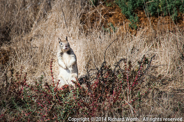 A ground squirrel turns and stares from its position near a path at the Hayward Regional Shoreline.