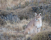 A puma stands in the grasses of Torres del Paine at dusk.