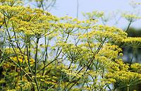 Fenchel, Foeniculum vulgare, Fennel, Fenouil
