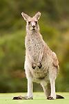 Eastern Grey Kangaroo (Macropus giganteus) sub-adult, Jervis Bay, New South Wales, Australia