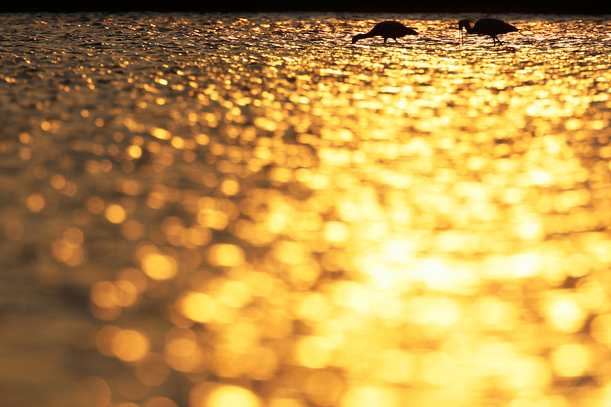 Spoonbill (Platalea leucorodia) in the Danube Delta, Romania. May 2009 <br /> Mission: Danube Delta