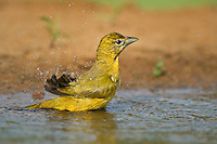 580980035 a wild female summer tanager piranga rubra bathes in a small pond at laguna seca ranch in the rio grande valley of south texas